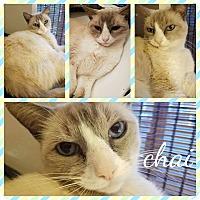 Adopt A Pet :: chai - Phoenix, AZ