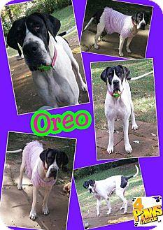 Great Dane Dog for adoption in Fenton, Missouri - Oreo