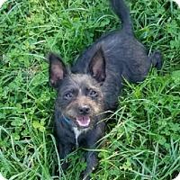Boston Terrier/Cairn Terrier Mix Puppy for adoption in Avon, New York - Lorelei