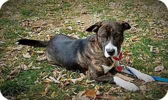 Catahoula Leopard Dog Mix Puppy for adoption in Warren, Maine - Kobe - NY