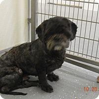 Adopt A Pet :: BOOTS - Sandusky, OH