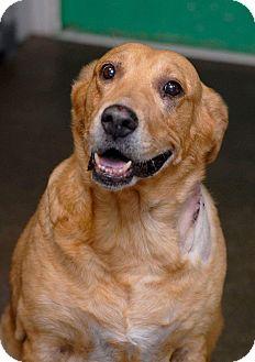 Labrador Retriever Mix Dog for adoption in Pottsville, Pennsylvania - Nyla