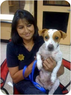 Jack Russell Terrier/Terrier (Unknown Type, Small) Mix Dog for adoption in Fowler, California - Wishbone