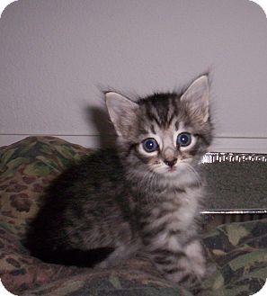 Domestic Shorthair Kitten for adoption in Orlando, Florida - Sarah