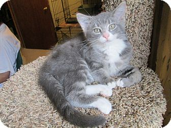 Domestic Shorthair Kitten for adoption in Richland, Michigan - Sally