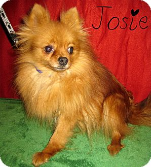 Pomeranian Dog for adoption in Prole, Iowa - Josie