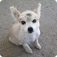 Adopt A Pet :: Sr. Patches - Dodge City, KS