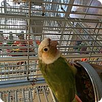 Adopt A Pet :: Pina - Punta Gorda, FL