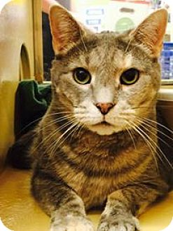 Domestic Shorthair Cat for adoption in Winchester, Virginia - Maney