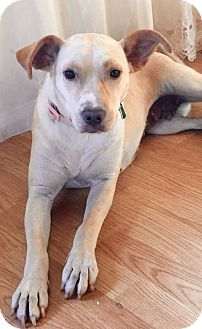 Labrador Retriever Mix Dog for adoption in Long Beach, California - Leia