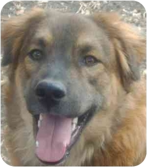 leonberger german shepherd mix rowe quinn adopted puppy dripping springs tx german 8940