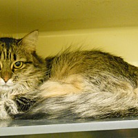 Domestic Longhair Cat for adoption in Saranac Lake, New York - Leigh