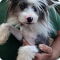 Adopt A Pet :: Mr. McPuffin - Gainesville, FL