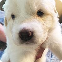 Adopt A Pet :: Daffodil - Kyle, TX