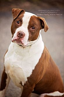 Pit Bull Terrier/American Staffordshire Terrier Mix Dog for adoption in Cincinnati, Ohio - Tyson $14