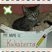 Domestic Shorthair Kitten for adoption in Iroquois, Illinois - Kukaberra