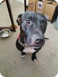 American Staffordshire Terrier/Labrador Retriever Mix Dog for adoption in Jacksonville Beach, Florida - Kayla