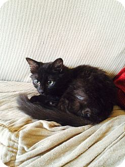 Domestic Mediumhair Kitten for adoption in East McKeesport, Pennsylvania - Whimsy