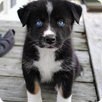 Adopt A Pet :: Lacey - Grand Rapids, MI