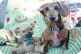 Dachshund Dog for adoption in Sioux Falls, South Dakota - Teddy
