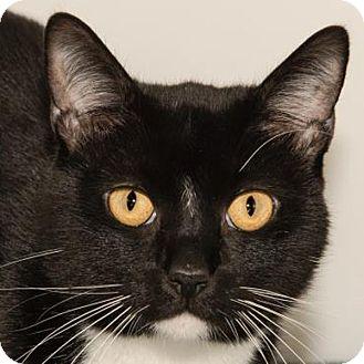 Domestic Shorthair Cat for adoption in Prescott, Arizona - Atlantis