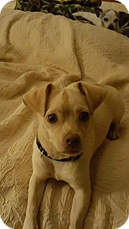 Chihuahua Dog for adoption in Willingboro, New Jersey - Frankie