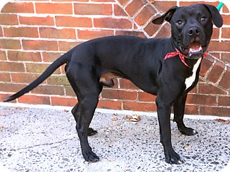 Pit Bull Terrier Mix Dog for adoption in Philadelphia, Pennsylvania - Duke