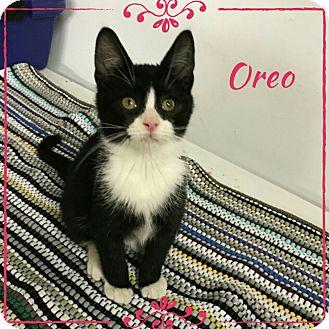 Domestic Shorthair Kitten for adoption in Albion, New York - Oreo