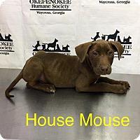 Adopt A Pet :: House Mouse - Waycross, GA