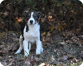 Shepherd (Unknown Type) Mix Puppy for adoption in Groton, Massachusetts - Rossi