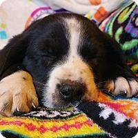 Adopt A Pet :: Hex - North Hampton, NH