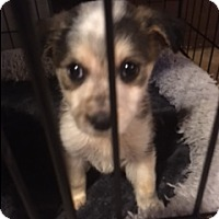 Adopt A Pet :: Blue Angle - Glendale, AZ