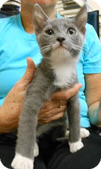 Domestic Shorthair Kitten for adoption in Reston, Virginia - Princey