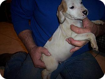 Jack Russell Terrier Mix Puppy for adoption in Germantown, Maryland - Percy