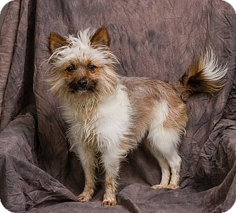 yorkie and pomeranian mix radar adopted dog anna il yorkie yorkshire terrier 3481