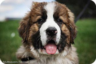 Bear | Adopted Puppy | JUN01_06 | Broomfield, CO | St ... Bernese Mountain Dog Saint Bernard Mix Puppies