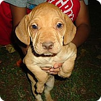 Adopt A Pet :: Wrinkles - Staunton, VA
