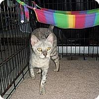 Adopt A Pet :: Avalanche - Lantana, FL