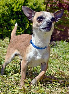 Chihuahua Dog for adoption in Bridgeton, Missouri - Chalupa