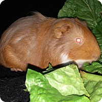 Guinea Pig for adoption in Aurora, Colorado - Hershey