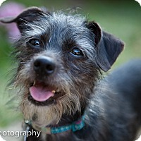 Adopt A Pet :: Shifu - Encino, CA