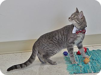 Domestic Shorthair Cat for adoption in Chambersburg, Pennsylvania - Moe