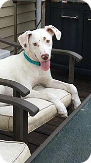 Labrador Retriever/Dalmatian Mix Dog for adoption in Burnham, Pennsylvania - Domino