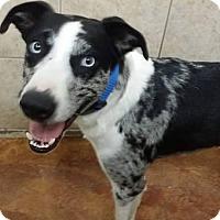 Adopt A Pet :: Blue - Terrell, TX