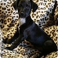 Adopt A Pet :: Electra - Los Angeles, CA