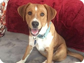Retriever (Unknown Type) Mix Dog for adoption in Bowie, Maryland - Roscoe - ADOPTION PENDING - CONGRATS REISSE FAMILY