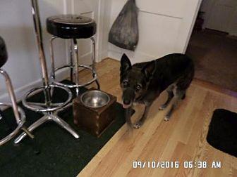 German Shepherd Dog/Cattle Dog Mix Dog for adoption in Sterling, Virginia - Elke 4271