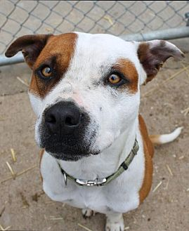 Boxer/Hound (Unknown Type) Mix Dog for adoption in Fort Madison, Iowa - Kouzy