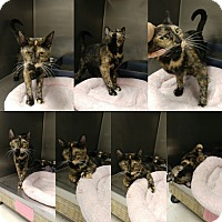 Domestic Shorthair Cat for adoption in Triadelphia, West Virginia - B-6