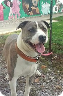 American Pit Bull Terrier Mix Dog for adoption in Paris, Illinois - Diesel